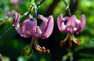 Turk's Cap Lily by Althytrion