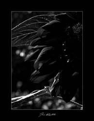 Dead petals by Tigru