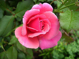 a rose is a rose by despondentpoplar