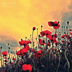 Red poppies by MelissaBalkenohl