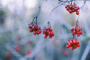 Winter Berries by MelissaBalkenohl