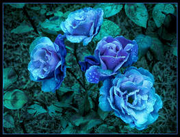 Blue Roses by anjali