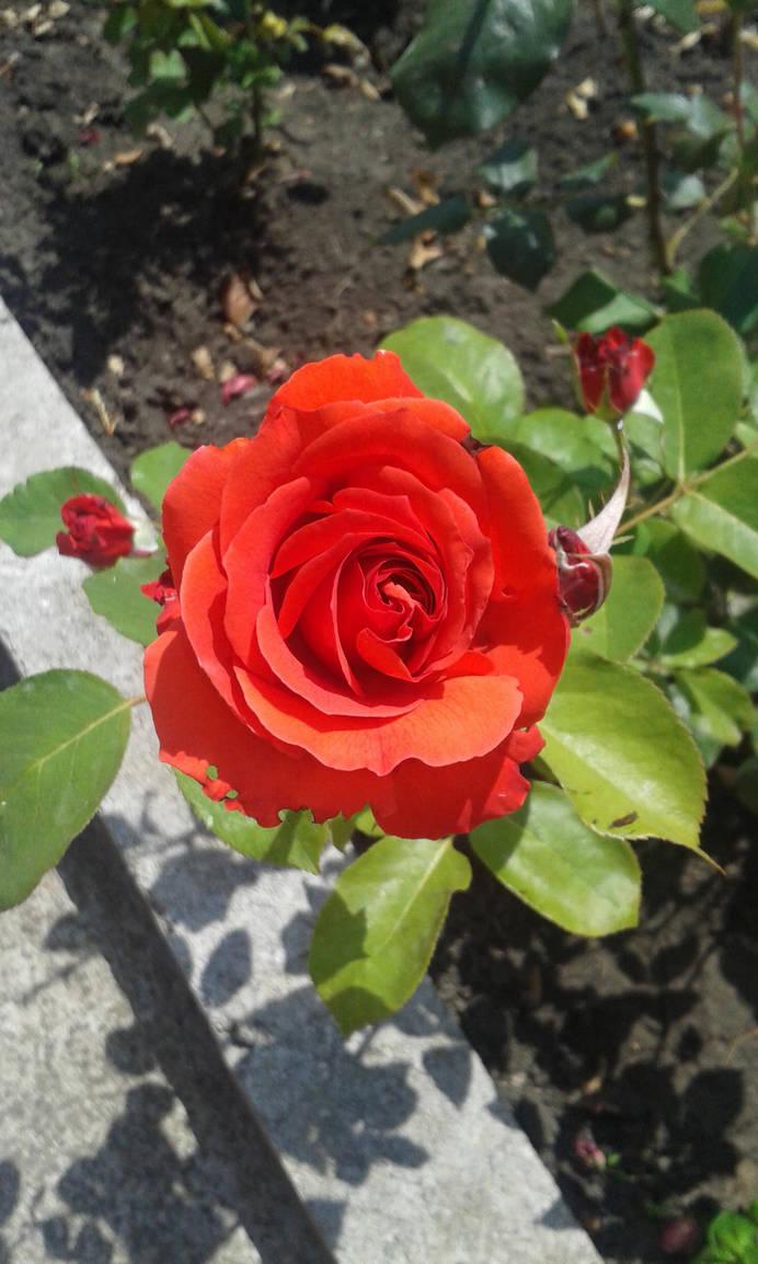 Red Rose by yuukihanabusa