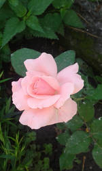 rose by yuukihanabusa