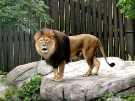 Lion II by Jisei