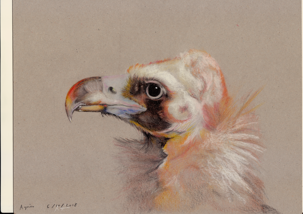 Cinereous Vulture by LaChasseGalerie