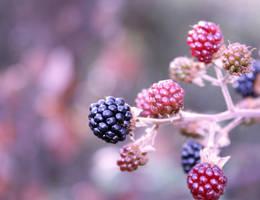 .blackberry. by sbluesky