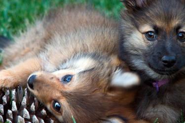 pomeranian puppies by KarlDawson