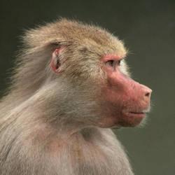 Baboon Portrait by KarlDawson