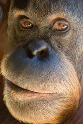 Orangutan Portrait I by KarlDawson
