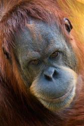 Orangutan Portrait II by KarlDawson