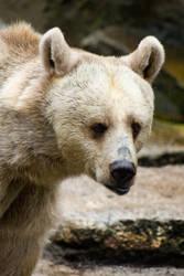 Brown Bear by KarlDawson