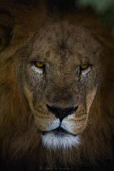 Lion by KarlDawson