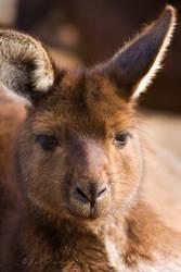 Wallaby Portrait by KarlDawson