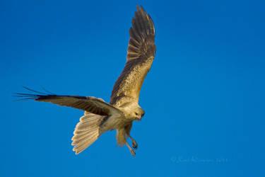 Whistling Kite 1 by KarlDawson