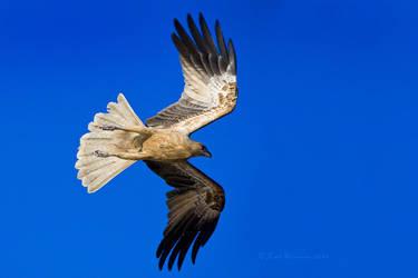 Whistling Kite 2 by KarlDawson