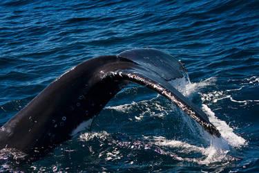 Humpback Whale fluke by KarlDawson