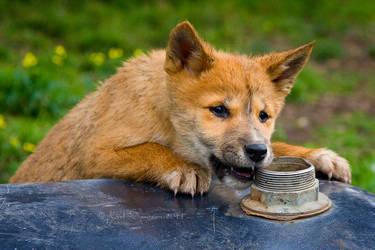 Dingo Pup by KarlDawson