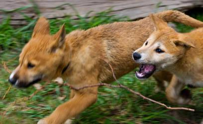 Dingo Pup - Stick Chasey by KarlDawson