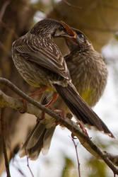 Red Wattlebird feeding chick by KarlDawson