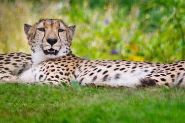 Cheetah resting by KarlDawson