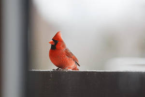 Cardinal by BlackRoomPhoto