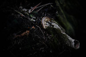 Millipede by BlackRoomPhoto