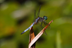 Dragonfly by BlackRoomPhoto