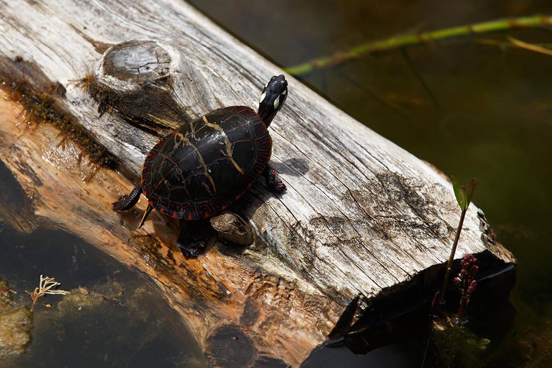 Eastern Painted Turtle by BlackRoomPhoto