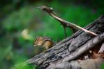 Chipmunk by BlackRoomPhoto