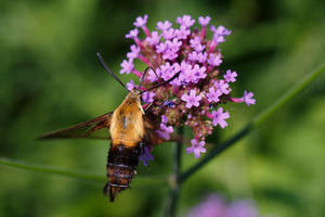 Hummingbird Clearwing by BlackRoomPhoto