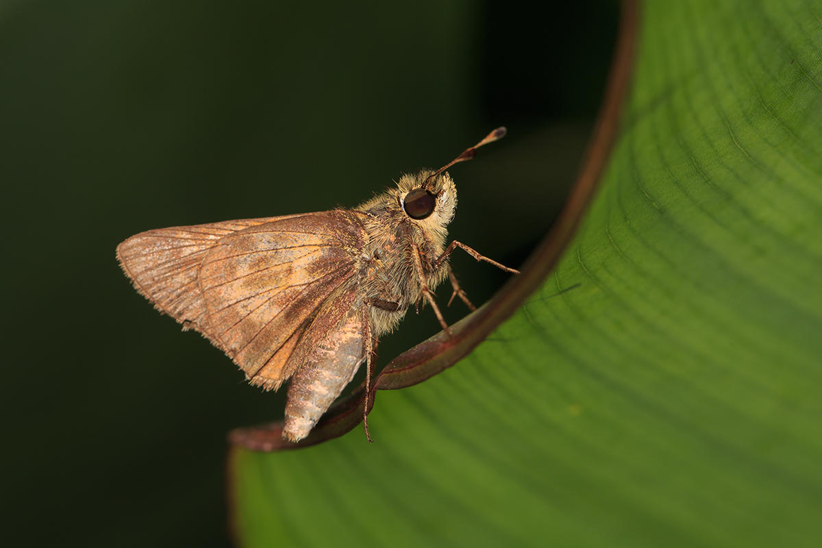Tawny-edged Skipper by BlackRoomPhoto