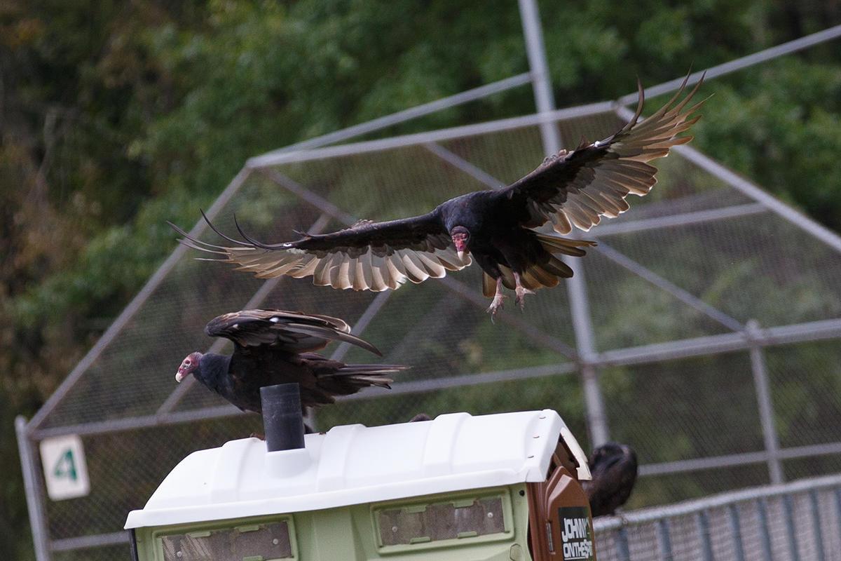 Turkey Vultures by BlackRoomPhoto