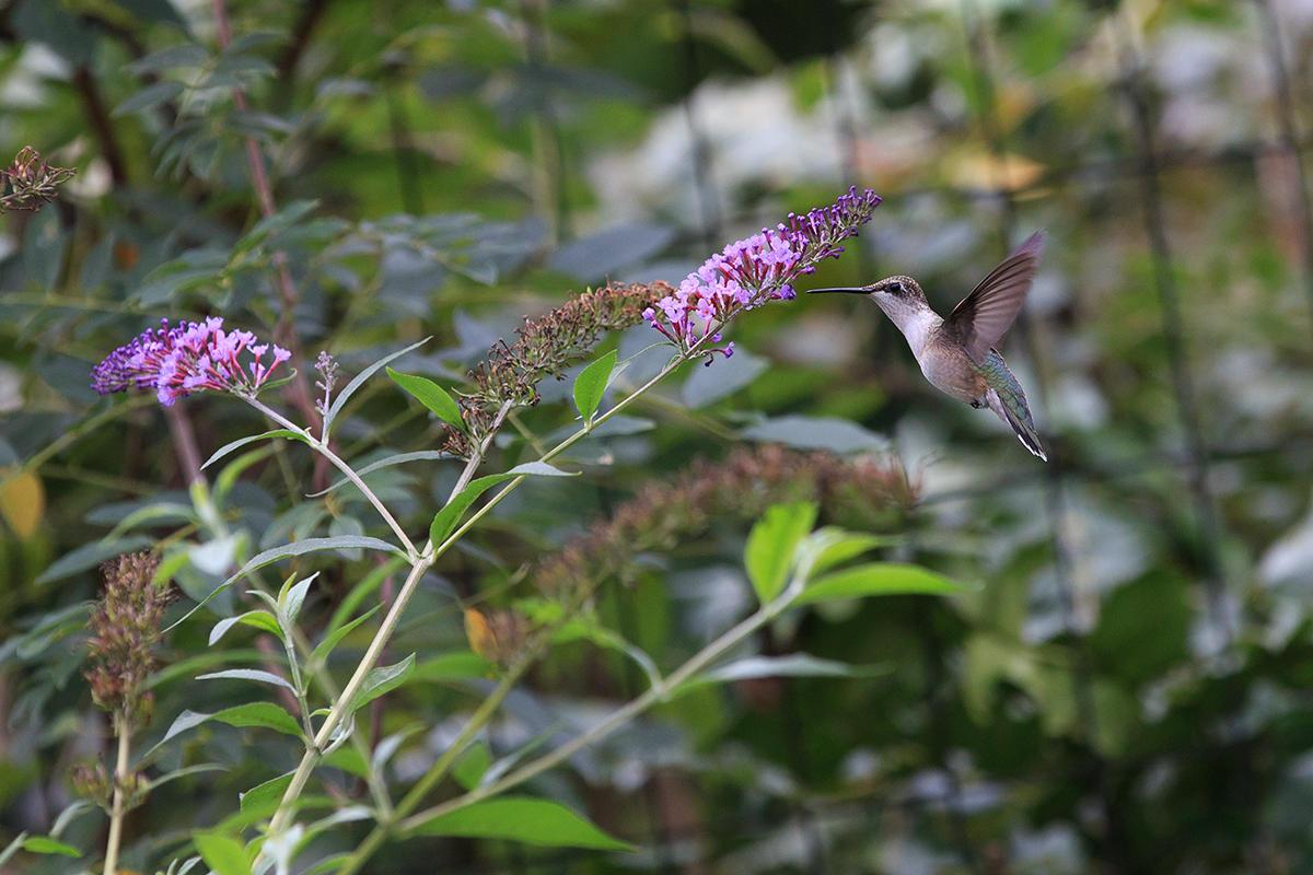 hummingbird by BlackRoomPhoto