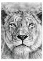 Lioness Stare in Graphite Pencil on Bristol Paper. by JonARTon