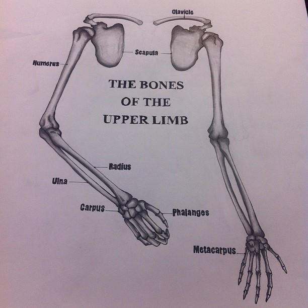Drawing And Anatomy Bones Of Upper The Limb By Seasonscall On