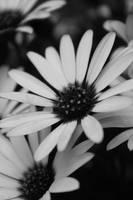 flower by Anavis