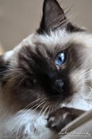 Blue-eyed Cat 02 by Zavorka