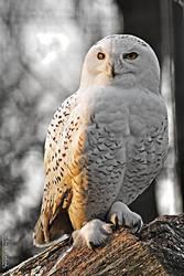 Snowy Owl - Ostrava ZOO by Zavorka