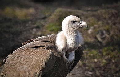 Griffon Vulture - Ostrava ZOO by Zavorka