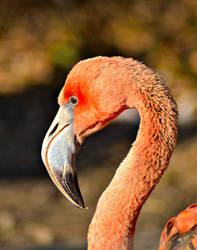 American Flamingo - Ostrava ZOO by Zavorka