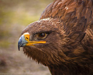 Golden Eagle by Zavorka