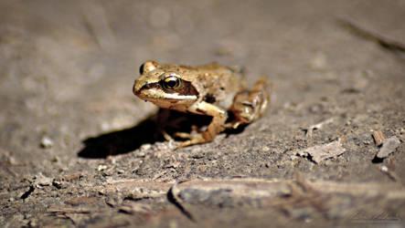 Common frog by Zavorka