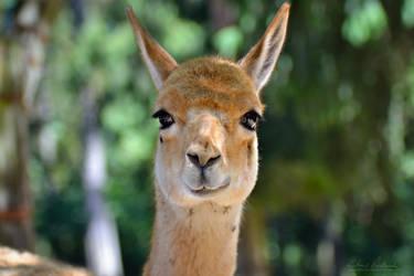 Llama sees you by Zavorka