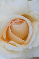 White Rose 2 by dgheban