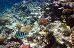 Red See corals 1 by dgheban