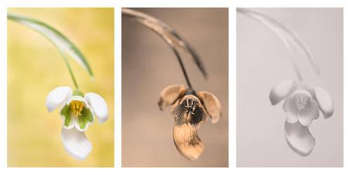 Galanthus nivalis (Common Snowdrop) Vis UV IR by DavidKennard