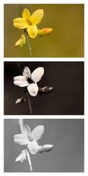 Jasminum nudiflorum (Winter jasmine) Vis UV IR by DavidKennard