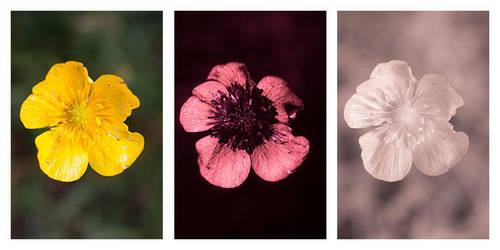 Ranunculus acris (Meadow buttercup) Vis UV IR by DavidKennard