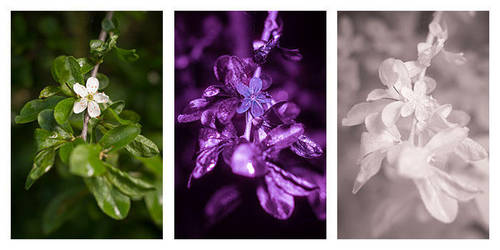 Prunus spinosa (Blackthorn / Sloe) Vis UV IR by DavidKennard